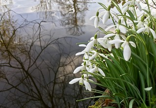 Snow Drops by the River Bank