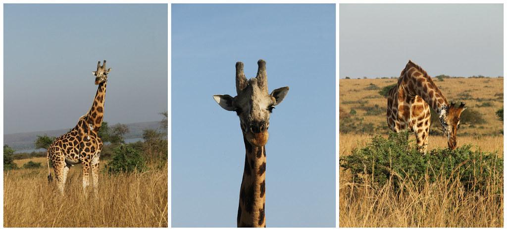 Giraffes, Murchison National Park, Uganda
