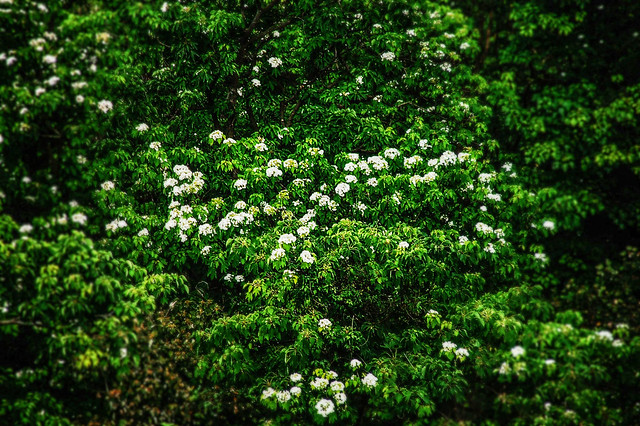 笠頂山油桐花 5