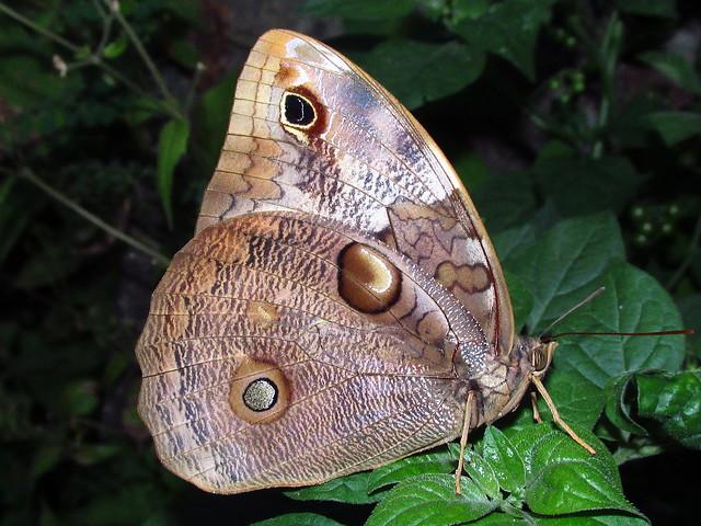 Opsiphanes tamarindi kleisthenes Nymphalidae, Canon POWERSHOT SX160 IS