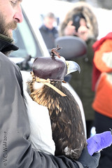 This eagle is golden