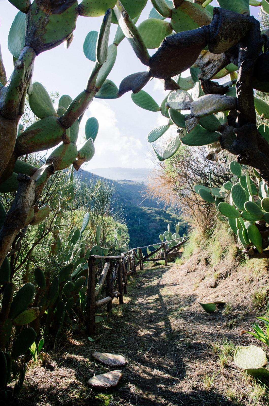 Salina - île éolienne - les cactus au pied du volcan