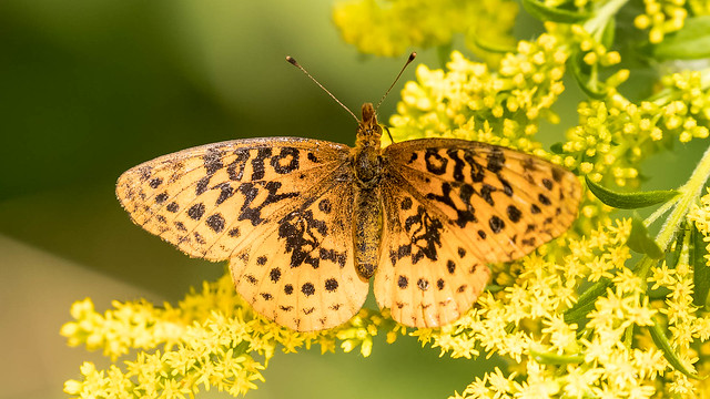 Meadow Fritillary, Canon EOS 6D MARK II, Canon EF 100-400mm f/4.5-5.6L IS II USM