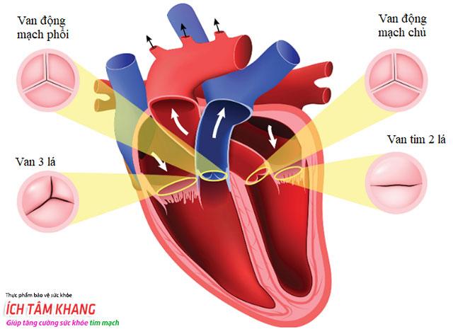 Vị trí các van trong tim