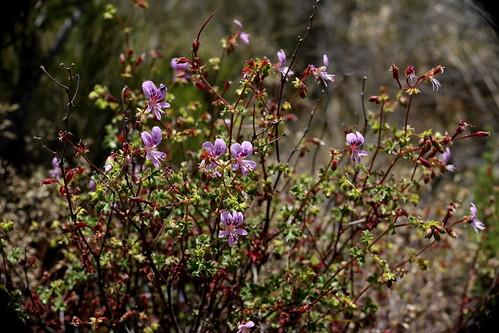 Pelargonium englerianum in wild