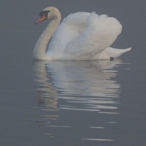 Swan, boating lake, misty morning | by Dave_A_2007