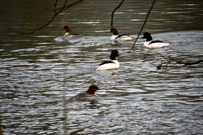 Ducks 12.03 (9)