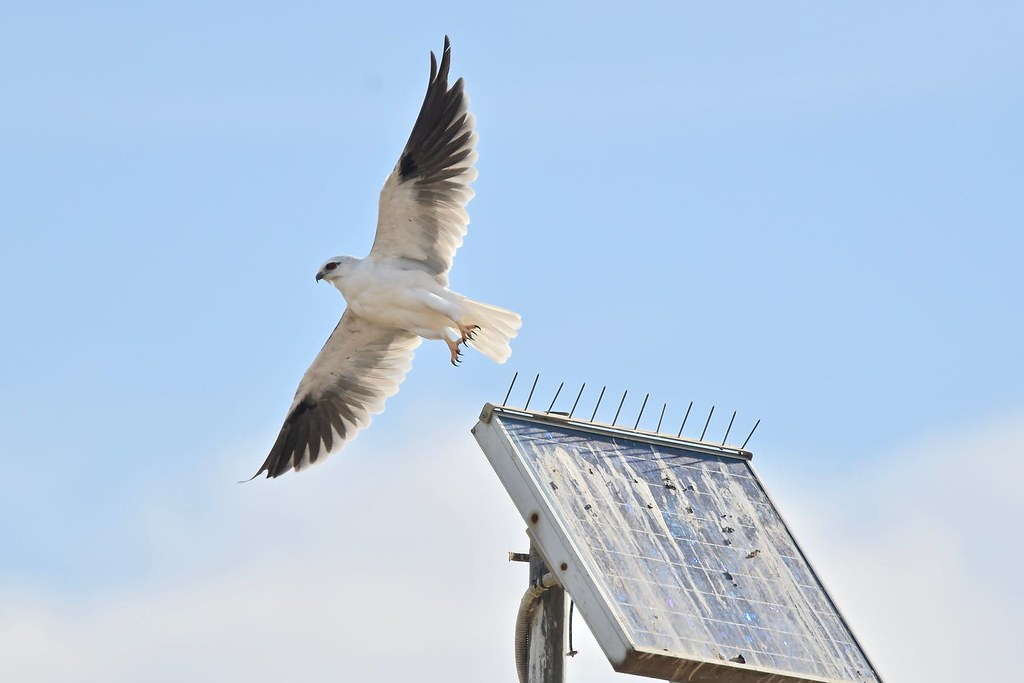 Black - shouldered Kite ( that mouse must be here )