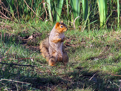 Park Squirrel