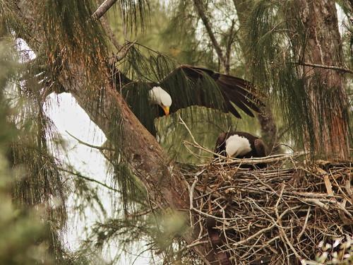 Bald Eagle 6232-20190125