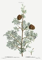 Mediterranean cypress (Cupressus sempervirens) illustration from