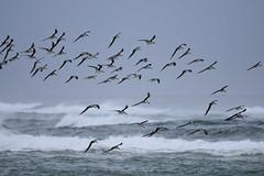 black skimmers birding Mason inlet NC 11.17DSC_0118