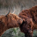 Highland Cattle by osedok
