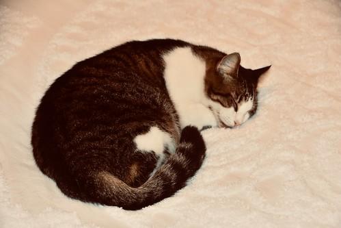 Hemingway cat asleep on Hemingway's bed - Key West