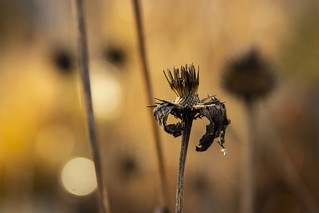 echinacea seedheads 2 | by Scott Weber PDX