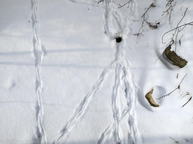 Muskrat tracks and ice