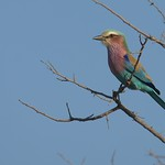 Lilac Breasted Roller - South Africa
