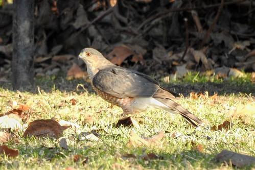 #11 Lifer #180 Sharp-shinned Hawk