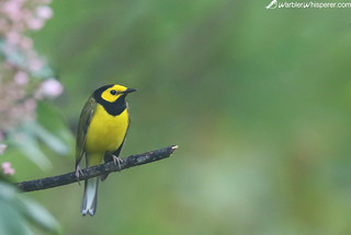 Hooded Warbler in Fog | by geno k