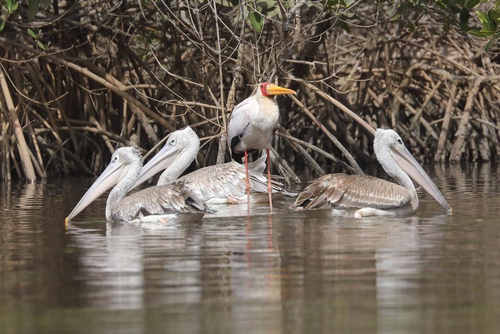 Yellow-billed Stork  Mycteria ibis