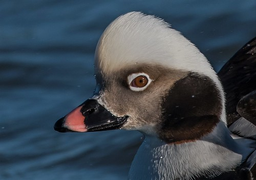 Male Longtail duck closeup