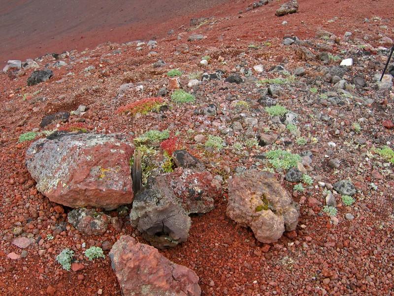 Растительность на красном конусе, Камчатка
