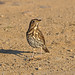 SongThrush ( Turdus philomelos ) by diegocon1964