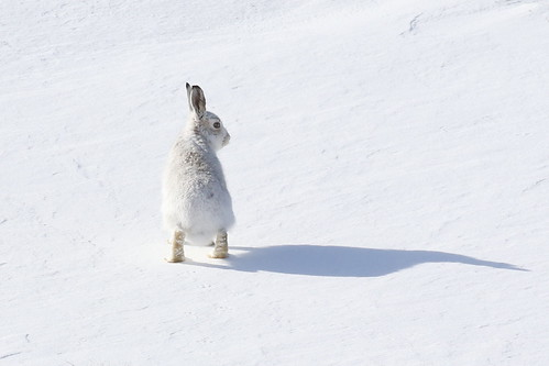 Mountain Hare - Scottish Highlands