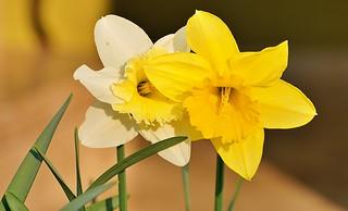 Osterglocke (Narcissus) III