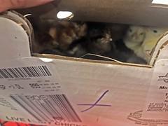 chicks IMG_8161