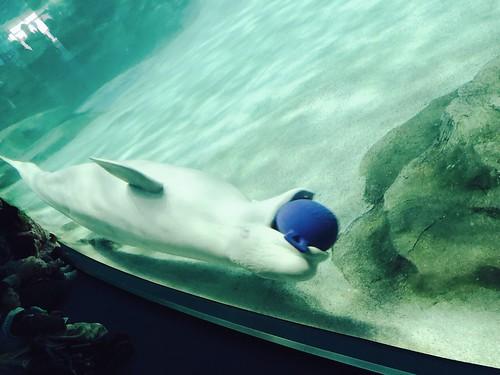 小白鯨玩球