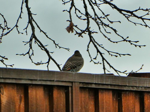 2019-03-03 - Nature Photography - Birds - A woodpecker dropping by