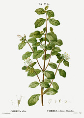 White correa (Correa alba) illustration from Traité des Arbres
