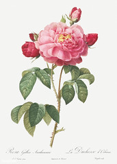 Vintage french rose