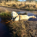 Teddy cooling down in the stream