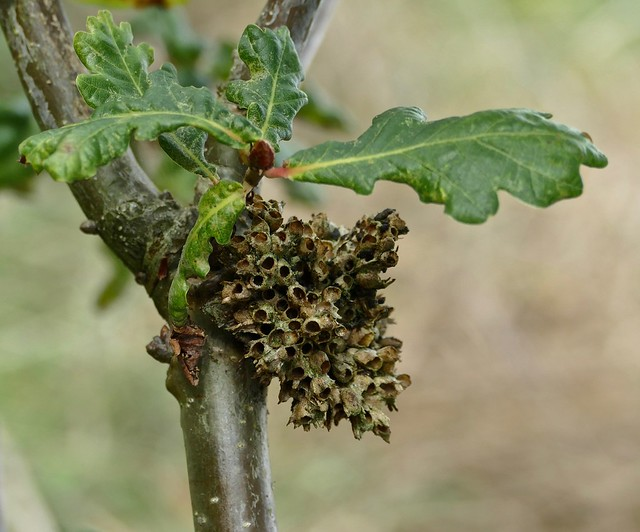 Quercus gall, not sure of ID. Does Artichoke Gall end up like this? At the Millennium Orchard