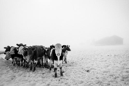 Gang of cows