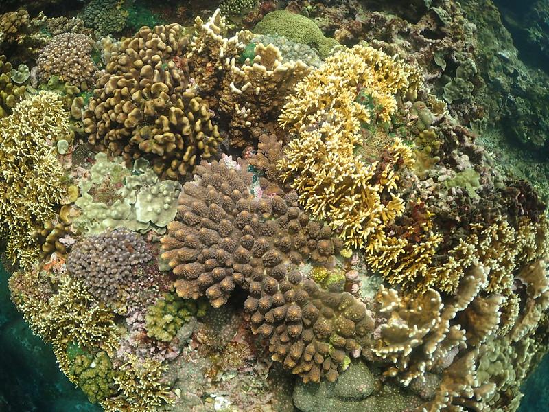 基翬珊瑚物種多樣性
