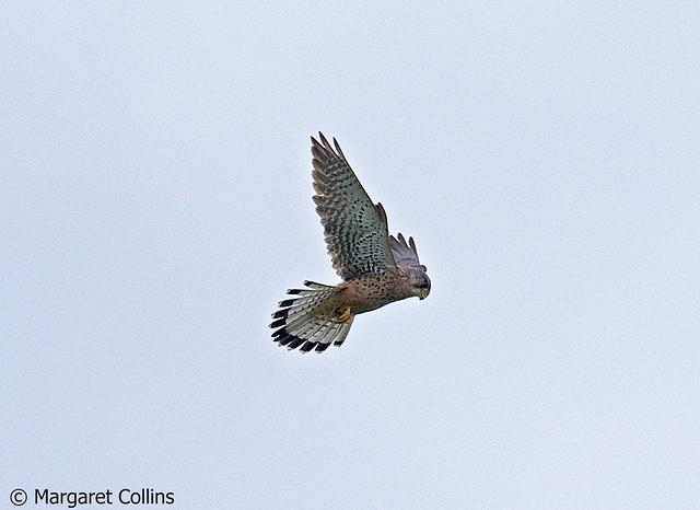 Falco tinnunculus - Hovering Kestrel