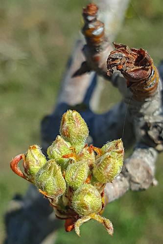 120718 Flor de Peral