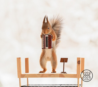 red squirrel holding an accordion on podium | by Geert Weggen