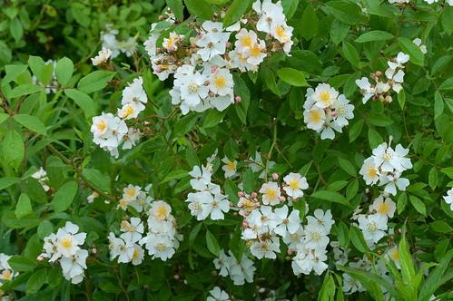 ノイバラ/Rosa multiflora
