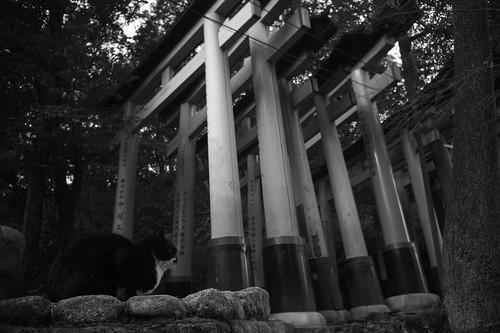 cat and torii gates