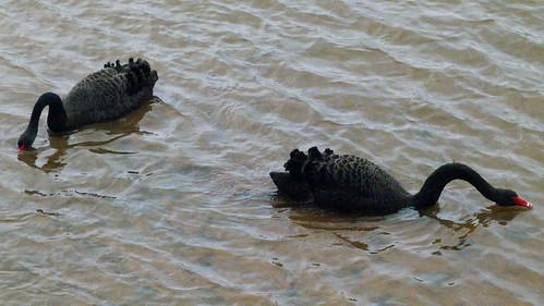 Black swan pair, Topsham