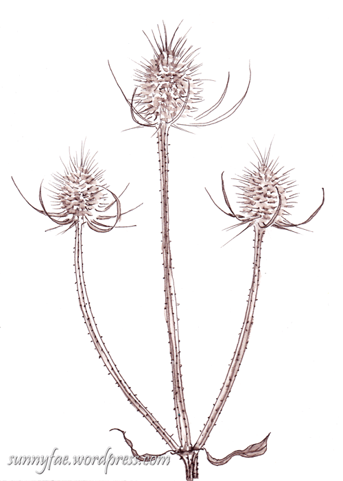 teasel sprig drawn in brown ink