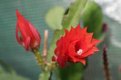 Epiphyllum rot