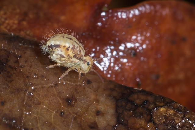 Sminthurus viridis ssp cinereoviridis, Canon EOS 5D MARK III, Canon EF 100mm f/2.8L Macro IS USM