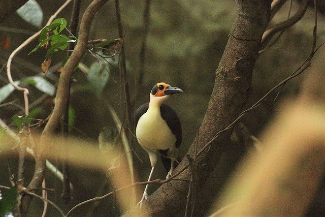 Yellow-headed picathartes, Bonkro Forest, Ghana