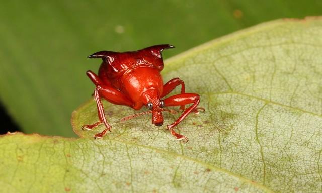 Horned Leaf-rolling Weevil (Lamprolabus bihastatus, Attelabidae)
