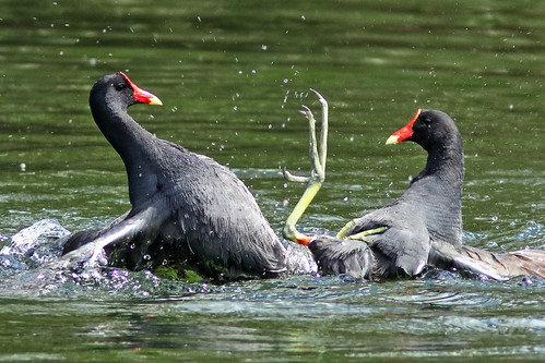 Common Gallinules mix it up 06-20190308